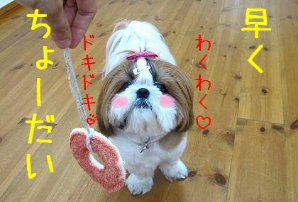 0016_シーズー犬まろんは新型好き