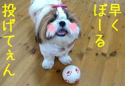 ボール好きなシーズー犬まろん
