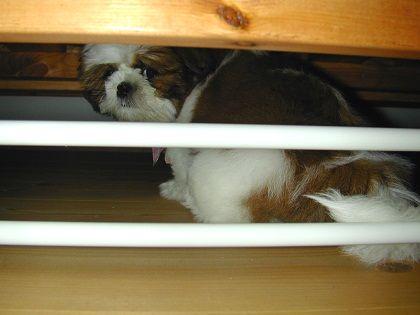 ソファ下のシーズー犬まろん1