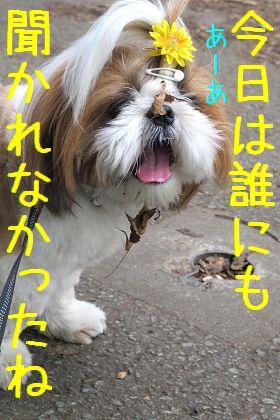 あくびをするシーズー犬まろん