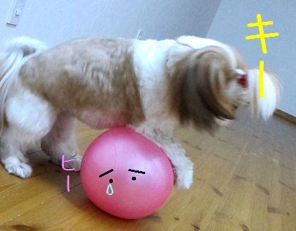 ハードなボール遊びをするシーズー犬まろん