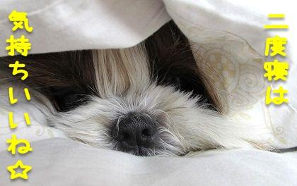 二度寝するシーズ犬まろん