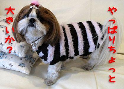 セーターを着てみるシーズー犬まろん