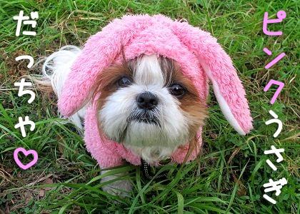 ピンクうさぎなシーズー犬まろん