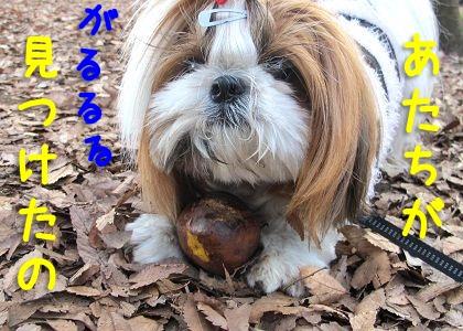 謎の木の実をゲットしたシーズー犬まろん