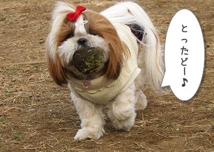 ボールをゲットしたシーズー犬まろん