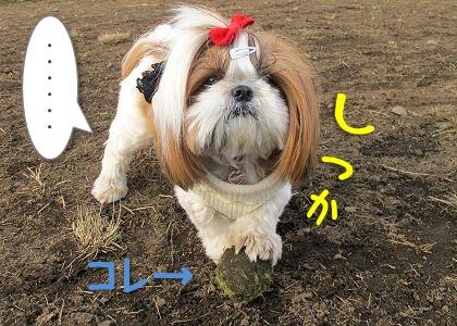ボールを見つけたシーズー犬まろん