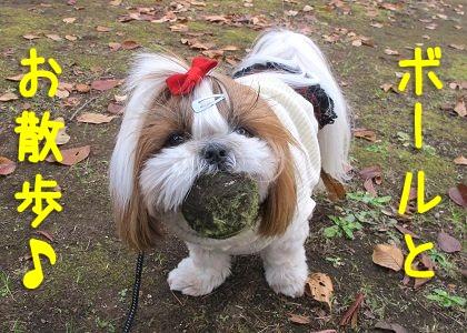 拾ったボールとお散歩するシーズー犬まろん