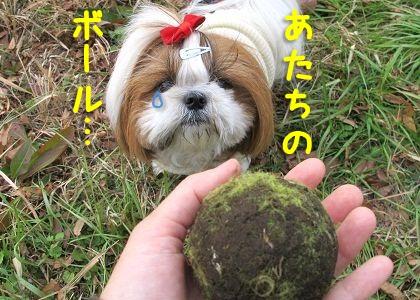 奪取したボールとシーズー犬まろん