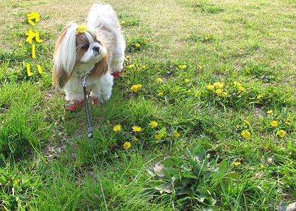 たんぽぽ畑とシーズー犬まろん