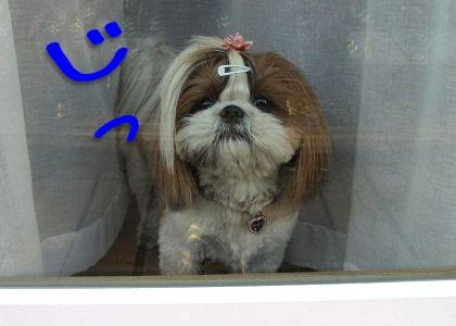窓から覗くシーズー犬まろん