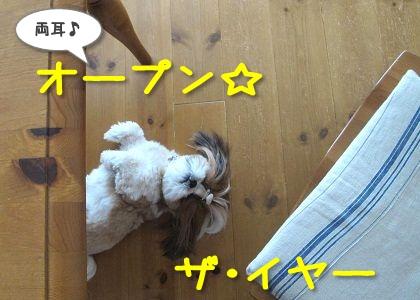 オープン☆ザ・イヤーするシーズー犬まろん