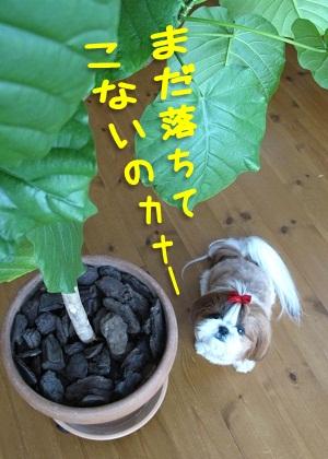 シーズー犬まろん with ウンベラータ