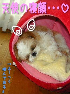 天使の寝顔のシーズー犬まろん