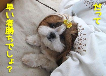 枕を強奪したシーズー犬まろん
