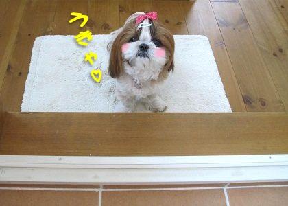 ドアの前でスタンバイするシーズー犬まろん2
