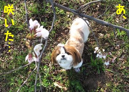 開花確認するシーズー犬まろん