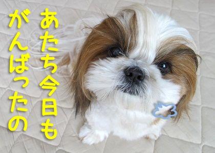 シーズー犬まろんのお手入れ風景5