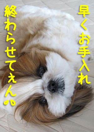 シーズー犬まろんのお手入れ風景6
