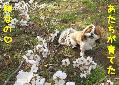 シーズー犬まろんが育てた桜