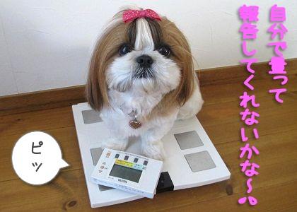 シーズー犬まろんの一人体重測定
