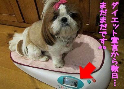ペットヘルスで体重測定中のシーズー犬まろん