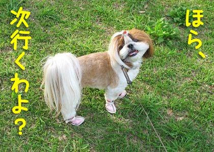 お散歩堪能中のシーズー犬まろん