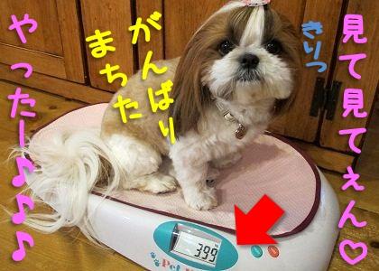 ペットヘルスで体重測定するシーズー犬まろん