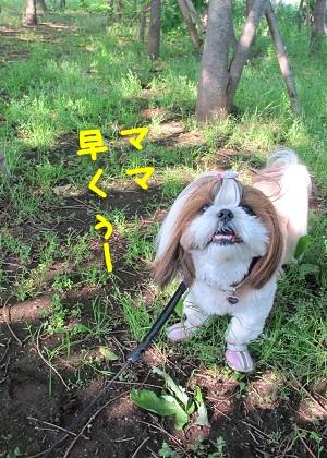 野生のシーズー犬まろん