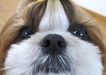 シーズー犬まろん標準