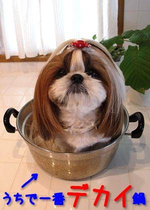 鍋シーズー犬なまろん