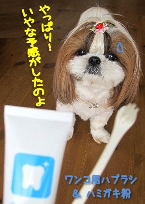 歯磨きを察知したシーズー犬まろん