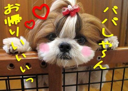シーズー犬まろんの愛あるお迎え