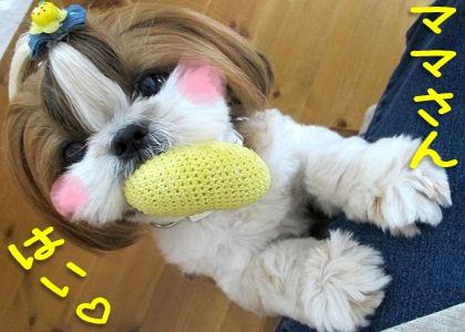シーズー犬まろん with ひよこ