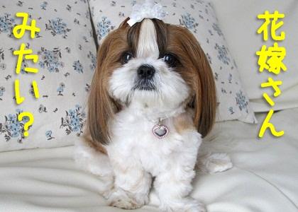 白いリボンをしたシーズー犬まろん