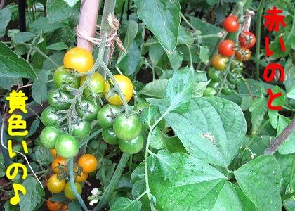 シーズー犬まろんの大好きなママのプチトマト