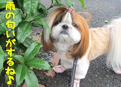 雨上がりのお散歩をするシーズー犬まろん