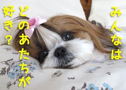 とってもかわいいシーズー犬まろん