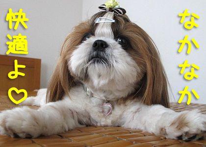 竹シーツに乗ったシーズー犬まろん