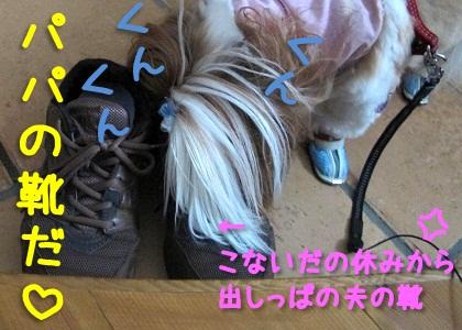 パパの靴を嗅ぐシーズー犬まろん