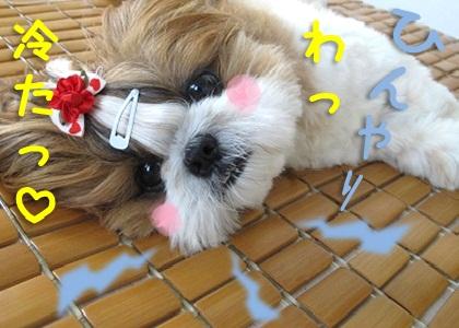 竹シーツでひんやりするシーズー犬まろん