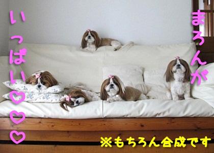 シーズー犬まろんがいっぱい