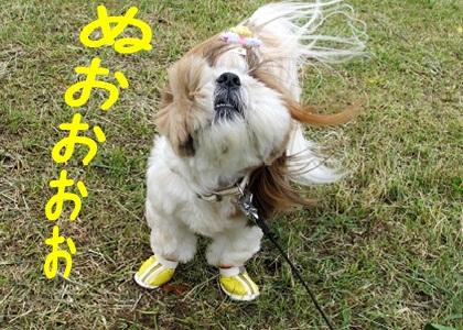 台風にも負けないシーズー犬まろん