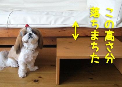 シーズー犬まろん with 踏み台