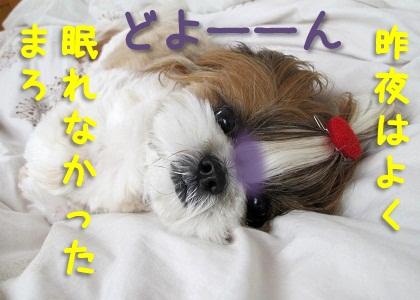 寝不足なシーズー犬まろん