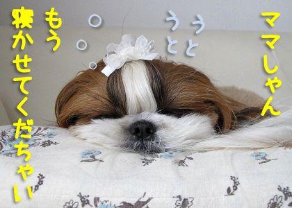 とにかく眠いシーズー犬まろん