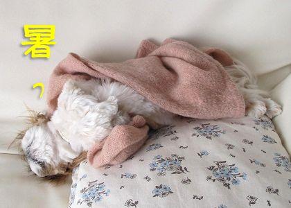セーターが暑いシーズー犬まろん