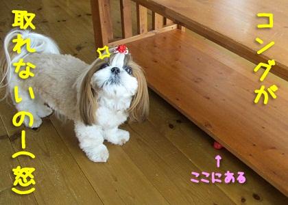 シーズー犬まろん vs コング1