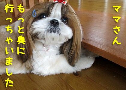 シーズー犬まろん vs コング4