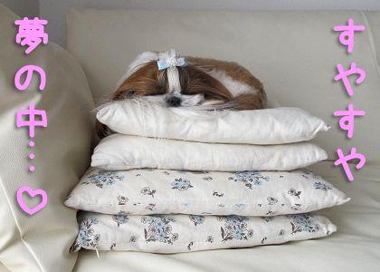 ぐっすり眠るシーズー犬まろん